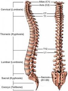 Basic Spinal Anatomy